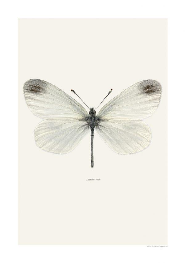 Plakat Enghvitvinge 50x70