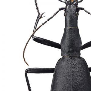 Poster Sort Insekt A4