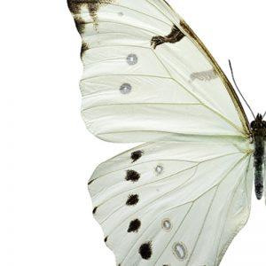 Plakat Hvit Sommerfugl A4