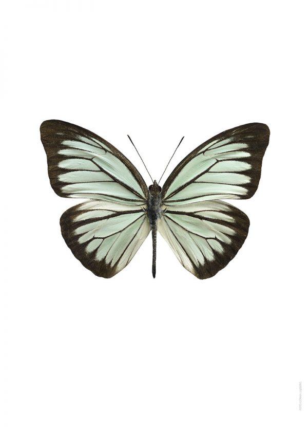 Poster Grønn Sommerfugl 50x70